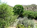 Trees Near the Canada Del Oro Wash - panoramio.jpg