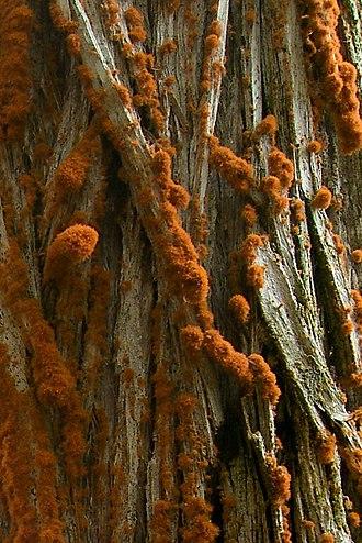 Trentepohlia (alga) - Image: Trentepohlia on Cypress (909757965)