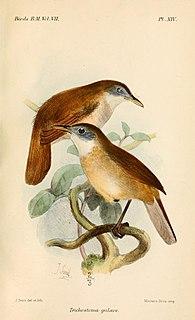 Eyebrowed jungle flycatcher species of bird