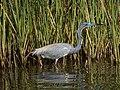 Tricolored Heron (16964210851).jpg