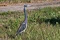 Tricolored Heron Bolivar Peninsula TX 2018-03-30 08-13-16 (26369357837).jpg
