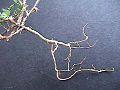 Trif campestre - raíz axonomorfa.jpg