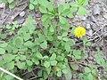Trifolium campestre plant5 (10621295143).jpg