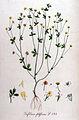 Trifolium filiforme — Flora Batava — Volume v11.jpg