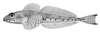 <i>Triglops</i> genus of fishes