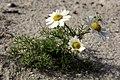 Tripleurospermum maritimum Helgoland.JPG