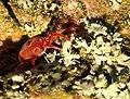 Trombidium holosericeum 3 Luc Viatour.jpg
