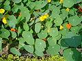 Tropaeolum - Kolkata 2006-01-28 03587.JPG