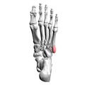Tuberosity of left fifth metatarsal bone 03 inferior view.png