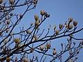Tulip tree (Liriodendron tulipifera) buds in spring 06.jpg