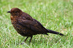 Common blackbird - Juvenile T. m. merula in England