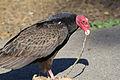 Turkey Vulture Scavenging.jpg