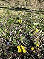 Tussilago farfara + Hepatica nobilis + Allium ursinum sl1.jpg