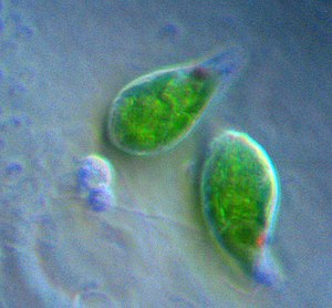 Chloroplast - Euglena, a euglenophyte, contains secondary chloroplasts from green algae.