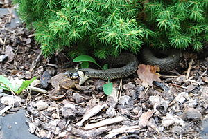Common toad - Grass snake eating adult common toad, Czech Republic