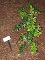 UC Davis arboretum - Berberis aquifolium.jpg
