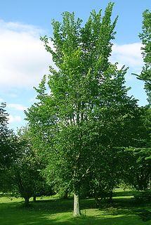 <i>Ulmus</i> Dodoens Elm cultivar