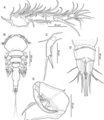 Unicolax longicrus (10.7717-peerj.6858) Figure 8.png