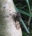 Unidentified Auchenorrhyncha Mato Grosso.jpg