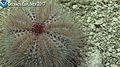 Unidentified deep sea urchin Okeanos 2.jpg