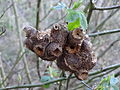 Unidentified galls 01.jpg