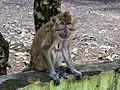 Unidentified macaque, Saka Tunggal Mosque, Purwokerto 2015-03-22 02.jpg