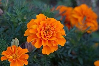 Tagetes - Tagetes patula flowers