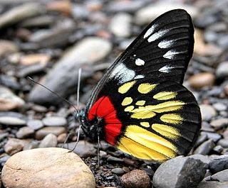 <i>Delias pasithoe</i> species of insect