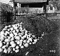 V vrtu pred hišo spravljena repa v jami, napol že prekrita s smrečjem, Male Lipljene 1948.jpg
