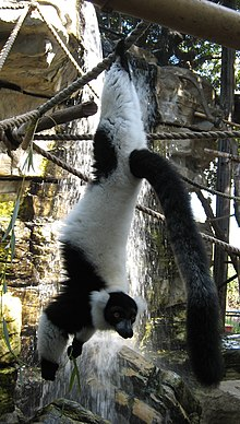 black-and-white ruffed lemur hanging by its feet from a rope, holding some leaves in its hands while looking at the camera