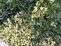 Variegated and green leaves in Ficus IMG-20140308-01192.jpg