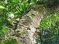 Vegetación de la Reserva de la Biosfera La Amistad Panama (RBLAP) 26.JPG