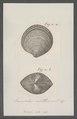 Venus cor - - Print - Iconographia Zoologica - Special Collections University of Amsterdam - UBAINV0274 077 11 0017.tif
