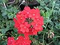 Verbena canadensis Taylortown Red 0zz.jpg