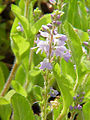 Veronica officinalis1.jpg