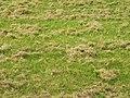 Vertikutierter Rasen.JPG