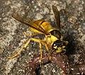 Vespa bicolor eating earthworm.jpg
