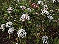 Viburnum × burkwoodii 'Park Farm Hybrid' at RHS Garden Hyde Hall, Essex, England.jpg