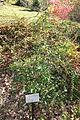 Viburnum propinquum - Quarryhill Botanical Garden - DSC03792.JPG
