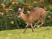 Vierhornantilope.jpg