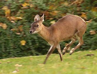 Four-horned antelope - Image: Vierhornantilope