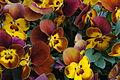 Viola 'Deltini Honey Bee' - Andy Mabbett - 2016-03-20.JPG