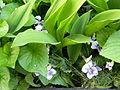 Viola (Violaceae) 2.JPG