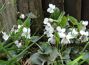 Des vertus des plantes par Macer Floridus, 1832 290px-Viola_alba_%28Guy_Bourrel%29