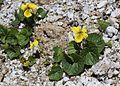 Viola crassa subsp. alpicola s4.jpg
