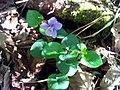 Viola riviniana Habitus1 SierraMadrona.jpg
