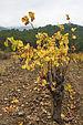 Vitis vinifera, Cessenon-sur-Orb 01.jpg