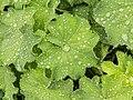 Vrouwenmantel (Alchemilla mollis) d.j.b 03.jpg