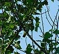 Vuga (Oriolus oriolus) Eurasian Golden Oriole.jpg
