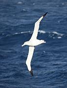 Wandering Albatross flying over the South Atlantic (5656444654)